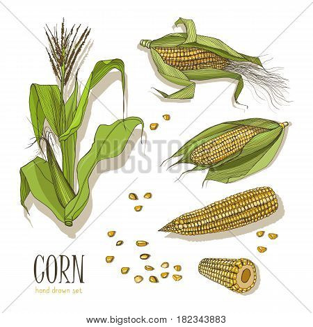 Set of corn plant. Colorful hand drawn collection maize. Vector illustration