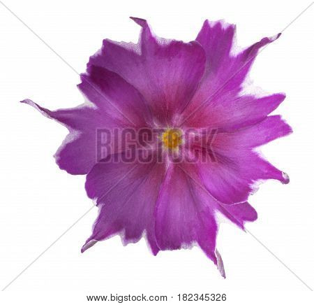 Phlox Flower Isolated