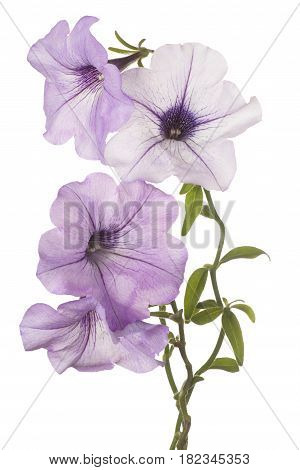 Petunia Flower Isolated