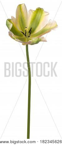 Tulip Flower Isolated