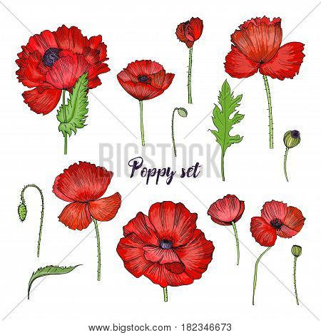 Set of various poppy. Red flower collection. Colorful hand drawn illustration