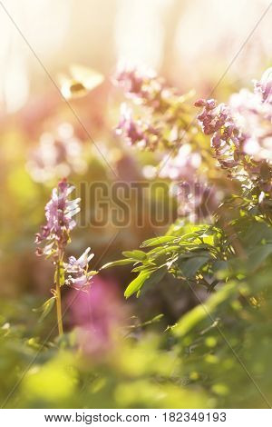 Spring sunny flowers Corydalis in a sun light natural beautiful spring background