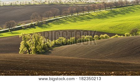 Spring wavy landscape with green and brown field and tree in the evening. South od Moravia Czech Republic.