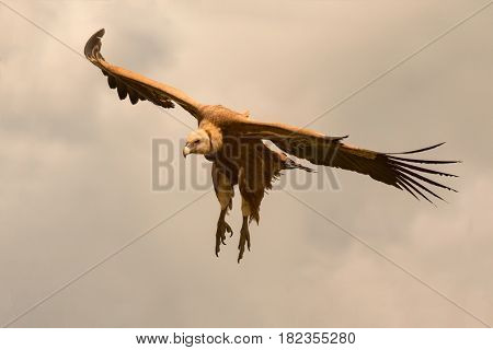 Big brown vulture in flight with a cloudy sky of background