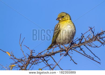 Yellow-fronted canary in Kruger national park, South Africa ; Specie Crithagra mozambica family of Fringillidae