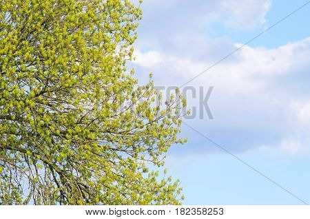Branches With Green Leaves Against The Blue Sky.