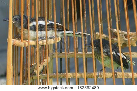 pet fledgling Oriental Pied-Robins in homemade cage in Songkhla, Thailand