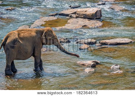 Young elephant walks in the river in national park Pinnawala Elephant Orphanage, Sri Lanka.