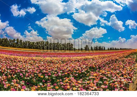 The concept of modern agriculture and industrial floriculture. The scenic field. Spring in Israel. Magnificent multicolored flowering garden buttercups