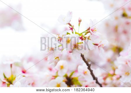 Beautiful Japanese Cherry Blossom Sakura Close Up