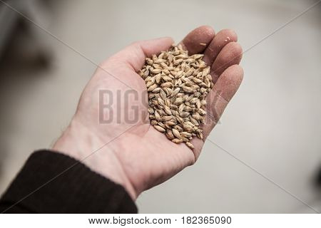 Malt grains in man's hand. Beer production