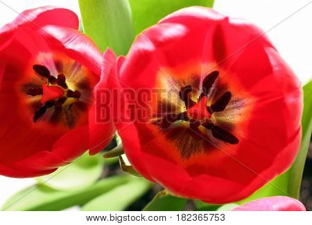 close-up view on red tulips with stamens and pistil