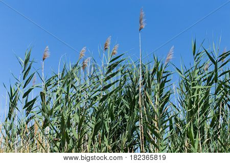 Green reeds against blue sky as a background.