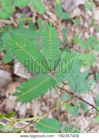 Closed up wild Mimosa pudica leave (grass plant)