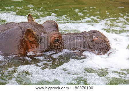 Portrait of a hippopotamus floating on the water