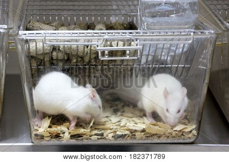 Laboratory rats.White Albino experimental rat in a cage.