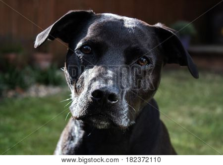 beautiful shiny black Labrador Staffordshire Bull Terrier crossbreed dog with kind eyes