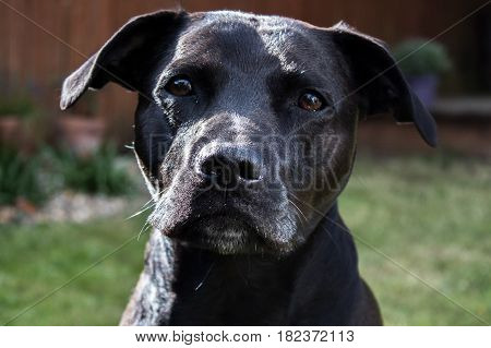 Beautiful shiny glossy black Labrador Staffordshire Bull terrier crossbreed dog with sad eyes