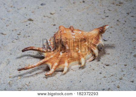 Seashells Marine- Lambis Scorpius
