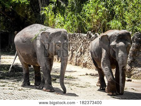 two large gray elephant walks along the old stone fences in tropical forest in Park of the Safari horizontal frame