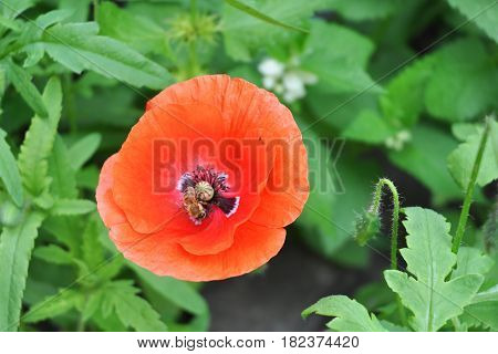 Blooming red poppy flower with a pollinating honey bee.