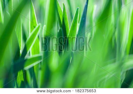 Green grass soft focus macro photo. Shallow DOF.