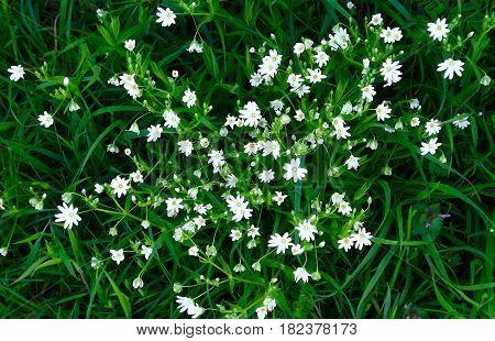 White stitchwort (stellar in) a common wild flower