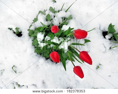 Red Tulips In Looking Through The Snow