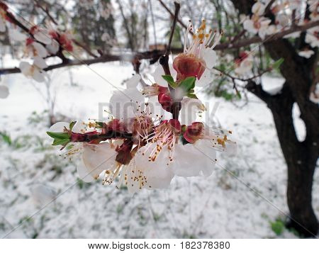Flowering On The Tree Perishes From The Snowy Weather