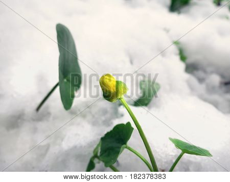 Yellow Globe-flower In Looking Through The Snow