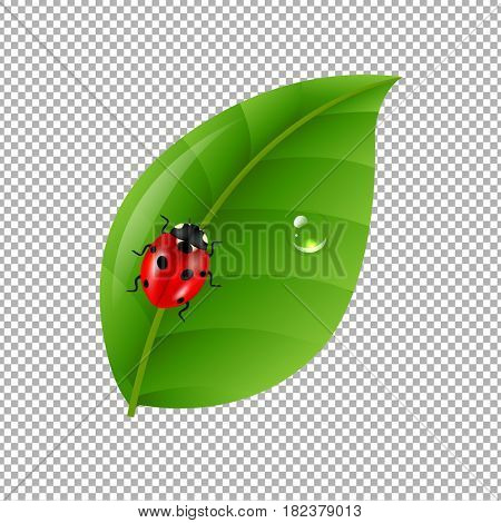Ladybug With Leaf Isolated In Trasparent Background