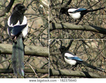 Magpie. Very beautiful bird.