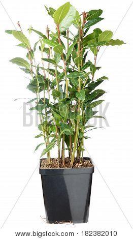 Bay bush - Laurus nobilis . Laurel bush, isolated on white background