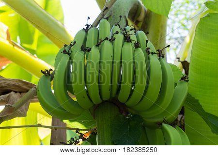 Green Raw Bananas. Young green banana on tree. Unripe bananas close up.