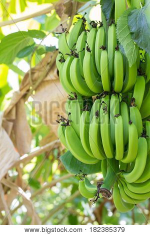 many green bananas. Young green banana on tree. Unripe bananas close up.