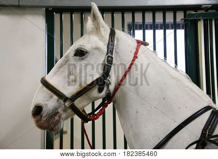 Gray colored lipizzan saddle horse waiting for riders. Head shot of a young beautiful lipizzan in the stable