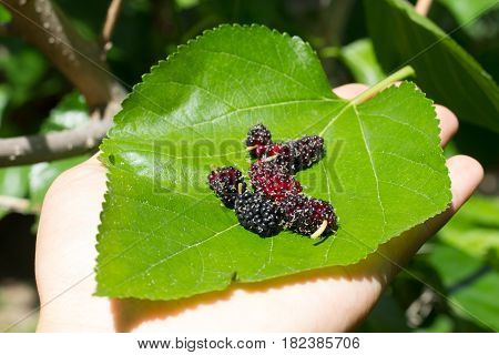 hand holding mulberries with sun light in the garden. soft focus to mulberries. fresh organic mulberry fruit.