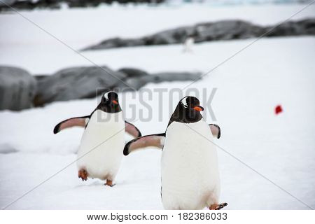 Two gentoo penguin or pygoscellis papua are walking funny way on the snow in Antarctica.