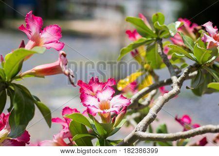 Red FlowersAzalea flowers. Red Flowers. natural flowers Azalea flowers. Impala Lily or Desert Rose or Mock Azalea beautiful pink flower in garden.