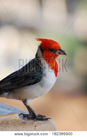 Cute red crested cardinal bird with a tiny bread crumb.