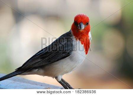 Sharp beak on a red headed cardinal standing on a railing.