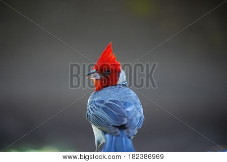 Hawaiian red crested cardinal bird with a tall crown.