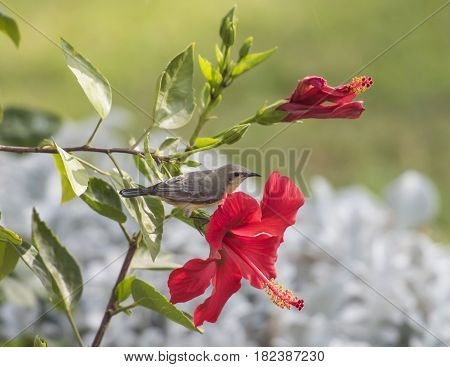 Small Bird Perched On Hibiscus Flower