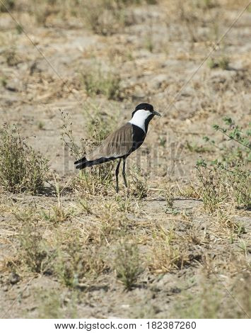 Spur Winged Plover Stood In Grass