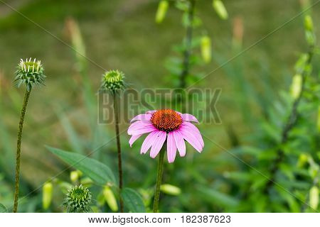 a solitary coneflower bloom in the garden