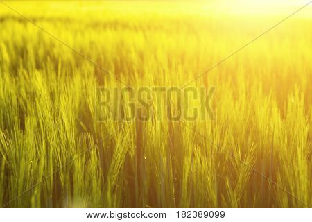 Yellow Wheat Field And Sunny Day. Nature Background