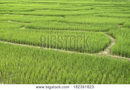 Rice plants growing on a paddy field. (Selective Focus)