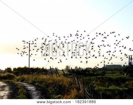 Bird swarm over the field and the road after rain