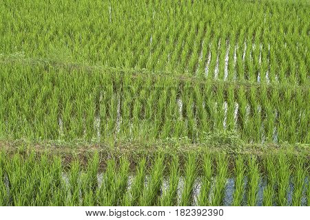 Rice Plants Growing On A Paddy Field.