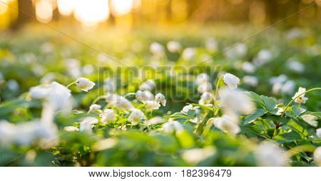 Beautiful wood anemone flowers in forest during sunrise.